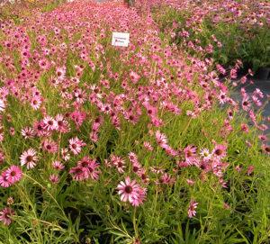 Echinacea tennesseensis