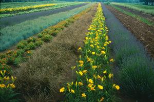 Field with Lavandula 'Hidcote' and Hemerocallis 'Stella de Oro'