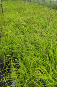 Carex 'Bowles Golden'